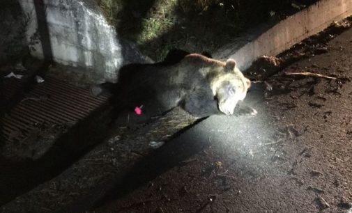 Orso investito a Roccaraso, muore poche ore dopo