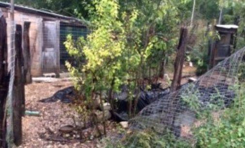 Visita dell'orso al pollaio, strage di papere e galline a Sulmona