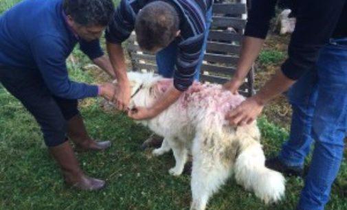 Parco d'Abruzzo, oltre mille cani registrati all'anagrafe e vaccinati