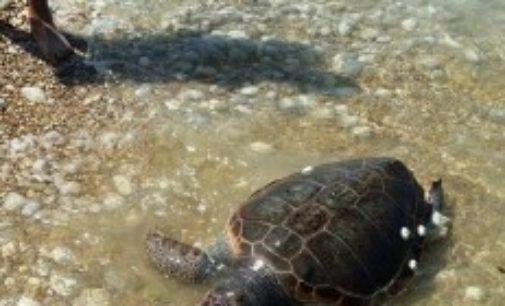Tartaruga caretta caretta muore in spiaggia a Fossacesia