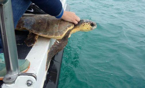 """<div class=""""dashicons dashicons-camera""""></div>Sei tartarughe marine Caretta caretta rilasciate in mare al largo di Pescara"""