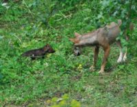 """<div class=""""dashicons dashicons-camera""""></div>Nati 4 cuccioli di lupo in area faunistica a Civitella Alfedena, hanno 30 giorni"""