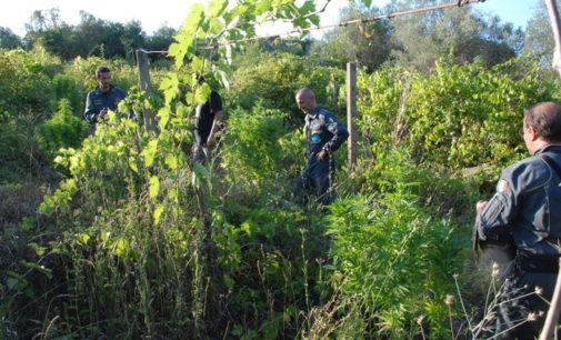 "<div class=""dashicons dashicons-camera""></div>Piantagione di marijuana sequestrata a Pescara, le piante erano alte due metri"