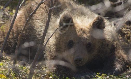 """<div class=""""dashicons dashicons-camera""""></div>Pnalm, nessuna guardia ha sparato all'orsa Morena"""