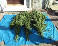 """<div class=""""dashicons dashicons-camera""""></div>Coltivava in giardino 63 piante di marijuana, arrestato"""