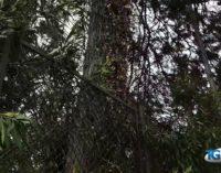 Lanciano: 2 pini da abbattere alla villa comunale, tre tigli da monitorare