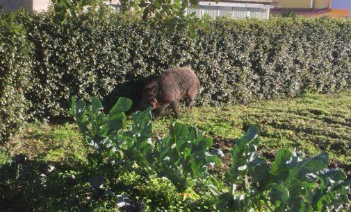 Vasto: un cinghiale nel giardino di casa, arriva il selecontrollore