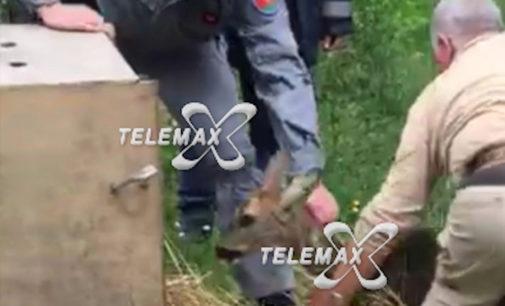 Ortona: si era rifugiato dentro un panificio, capriolo rimesso in libertà