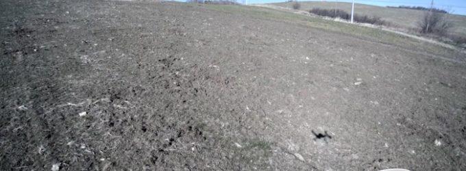 Cinghiali: ettari di campi di grano distrutti a Torricella Peligna