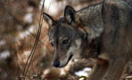I veterinari della Asl sulle tracce dei lupi avvistati tra Fara San Martino e San Vito Chietino