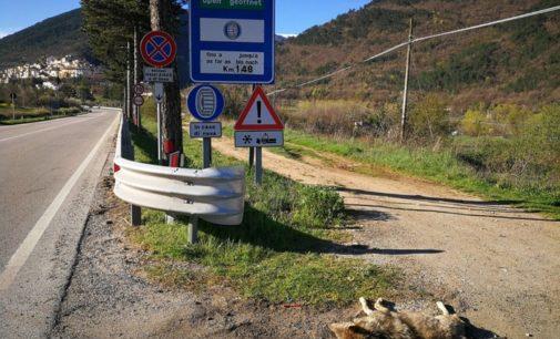 Lupo morto lungo Ss 17, vicino Pettorano sul Gizio