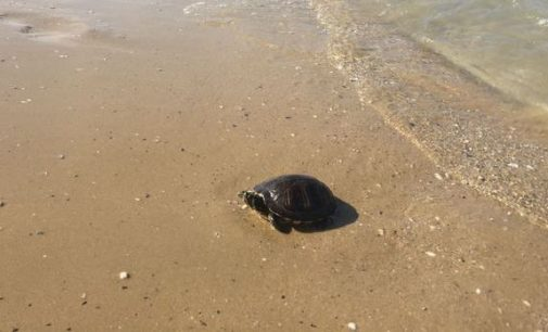 Pescara: tartaruga d'acqua dolce messa in salvo