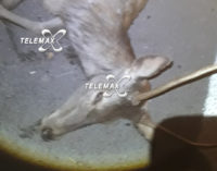 Incidente stradale provocato da un cervo sulla Fondovalle Sangro: morto l'animale, salvo l'automobilista