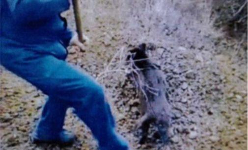 Tornareccio: maltratta e uccide cinghiale poi diffonde video su whatsapp, denunciato 64enne