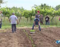 Altino: produttori mettono a dimora nei campi le piante di peperone dolce