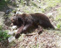 Lotta tra orsi per l'accoppiamento, morto un esemplare maschio nel Pnalm
