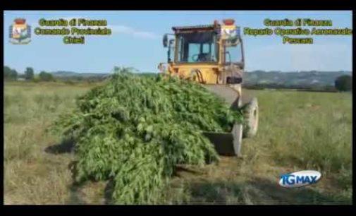 Canapa indiana nascosta nella vegetazione a Mozzagrogna, sequestrate 180 piante