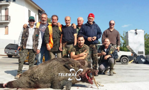 Cinghiale record catturato in braccata a Manoppello, pesa più di due quintali