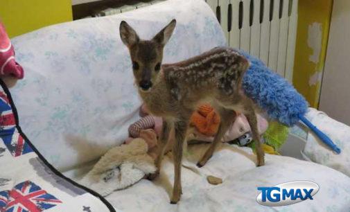 Cucciolo di cerbiatto nel giardino di casa, salvato da un bambino