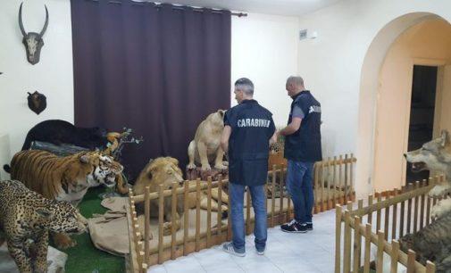 Animali imbalsamati, sequestro al museo di San Giovanni Teatino