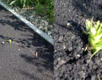 Via verde: le canne infestanti bucano l'asfalto della pista ciclopedonale