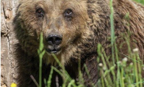 E' morta a 30 anni l'orsa Yoga, faceva scorribande nei paesi del Parco