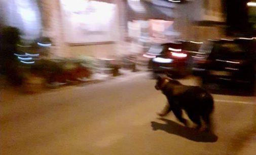 Scanno, passeggiata serale di un orso in centro