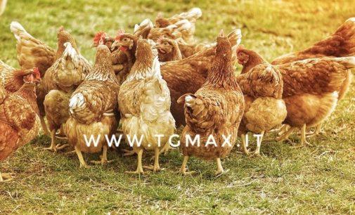 Ladro di polli: deruba il cugino e i carabinieri lo denunciano per furto aggravato