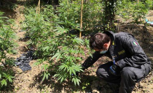 Droga: la finanza di Lanciano sequestra 170 piante di canapa indica a Mozzagrogna
