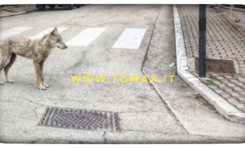 Lupi nei centri abitati del Chietino: nessun pericolo per le persone ma attenzione agli animali domestici