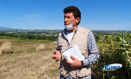 Cinghiali distruggono il grano: agricoltori disperati, pronti alla mobilitazione